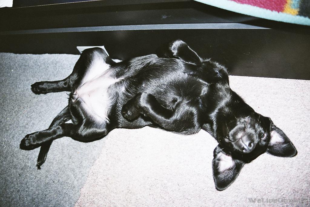 Brady-Welpe-Junghund_17