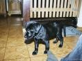 Brady-Welpe-Junghund_4