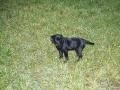 Brady-Welpe-Junghund_50