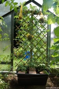 3 Früchte am Rankgitter