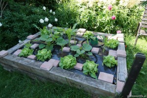bepflanztes Halbhochbeet mit Kürbis (Hokaido, Butternut), Zuckermais und Salat